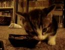「うまうま」言いながら食事をする子猫 ウ