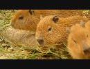 関東の動物園にカピバラの赤ちゃん続々登場