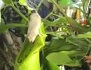 ウツボカズラの中に落ちたネズミの変わり果てた姿【エコ回避版】