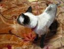 お刺身をねだるシャム猫