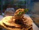 小松菜を食べるうちのフトアゴ
