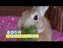 【今週のペット】ふかひれ(ウサギ、オス・1歳8カ月)