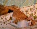 子猫 VS フェレット 6