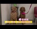 【今週のペット】HANA(ゴールデンレトリバー、メス・4歳)