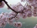 【歌ってみた】花曇(はなぐもり) ☆彩☆