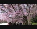 2011年春の京都に行ってきた(5)【半木の道~】