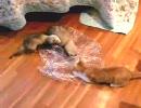 子猫 VS フェレット 完全版? ROUND4