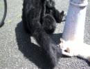 ゴリラvs猫