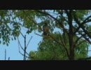 鳴きながら羽づくろいをするヒヨドリ thumbnail