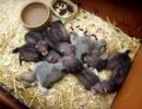 フェレットの赤ちゃん達がウサギ食う