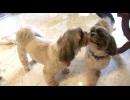 【今週のペット】ポン吉(シーズー、オス・5歳)&ヨネ(シーズー、メス・4歳)