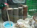 爪楊枝で水をまぜるオカヤドカリ