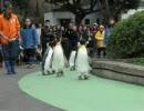 ペンギン動画 ペンギン散歩2