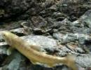 【福島】 岩魚&ヤマメの水中動画
