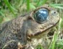 グロ注意・寄生虫に目を乗っ取られたカエル