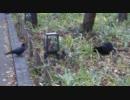 黒ネコとハシブトガラス thumbnail