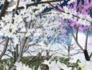 [MMD] 桜の木を配布します 「千本ぴくみん」