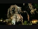 祇園白川・円山公園の桜(2012/4/5)