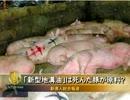【新唐人】「新型地溝油」は死んだ豚が原料?