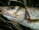 コイ釣り実況!春の奥多摩湖で吸い込み釣りに挑んだが・・