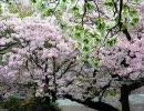 初音ミク「桜のような恋でした」【オリジ