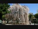 2012年京都に行ってきた(8)【桜の京都府庁~】