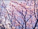 【オリジナル曲】 春 【初音ミク】