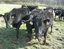 寄ってきたと思ったらなんとなく駆け去る若牛の群れ