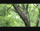木の上で雨宿りするムクドリの幼鳥 thumbnail