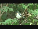 鳴いているシジュウカラの幼鳥 thumbnail