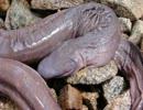 ブラジルで発見された新種の蛇GB
