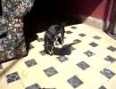 猫を襲うチワワ