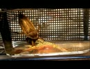 タガメの成虫に生きているカエルをあげてみた