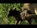 ライオンが牛の赤ちゃんを捕まえるも可愛
