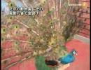 【新唐人】北京の動物園 ニセの電動孔雀で金儲け