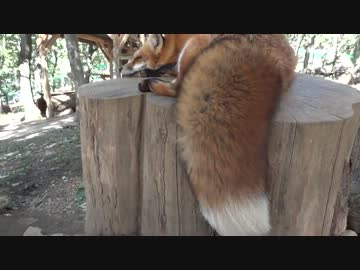 【Zao fox village】 Tail swaying in the wind