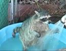 アライグマ君、シャワーを浴びて歓喜の踊りを舞う