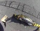 オレ的ルアー釣り 45センチのアイナメ(