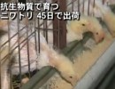 【新唐人】抗生物質で育つニワトリ 45日で出荷