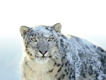 Snow Leopard ロゴ