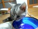 むしゃむしゃするアメリカンショートの子猫