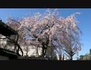 京都の桜の開花状況(2013/3/21)