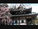 鎌倉 長谷寺 桜