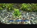【水槽4】グロッソ成長比較(動画編集練