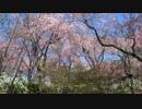 京都の桜の開花状況(2013/4/8)