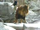 若い飼育員の生意気な態度にライオンさん