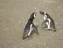 ペンギンの喧嘩クソワロタwwwww バ