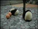 パンダが遊ぶ動画 (愛浜・明浜 その1)