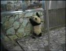 パンダが壁をよじ登る動画 (愛浜・明浜 その3)
