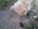 モグラで遊ぶ犬